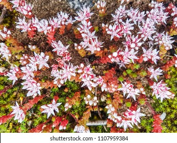 Sandy stonecrop, Sedum arenarium,  growing  in Galici, Spain