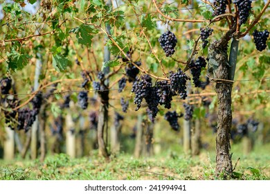 Sangiovese grapes in Italy.