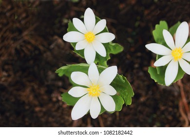 Sanguinaria canadensis is native to North America, blooming in spring in wet, shady woodland conditions.  It's red juice and roots are sometimes used by experts in herbal medicines
