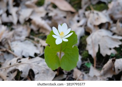 A Sanguinaria Canadensis plant, commonly called Bloodroot, Bloodwort, Redroot, Puccoon, and also Pauson. The red liquid that comes out of the stem is poisonous and kills skin cells it contacts.