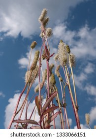 Sanguisorba canadensis or Canadian burnet, also called Pimpernel against a blue cloudy sky