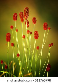 Sanguisorba officinalis. great burnet. Chinese Herbal Materia Medica by Dan Bensky Di Yu. the root is used to stop bloody dysentery, nosebleeds, and is applied topically to treat burns