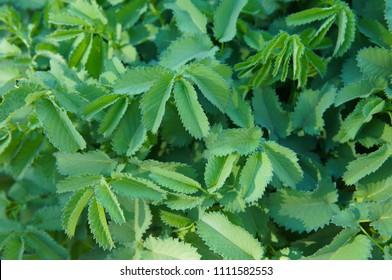 Sanguisorba officinalis or great burnet green foliage