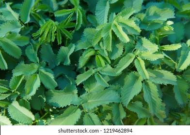 Sanguisorba officinalis or great burnet green foliage