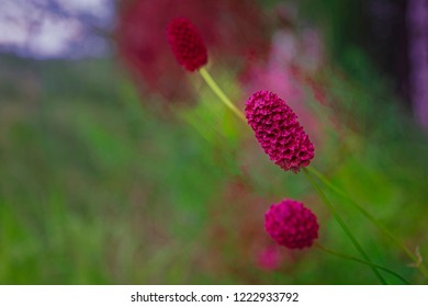Sanguisorba officinalis on a blurred background stylized painting