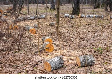 Sanitary cut of trees