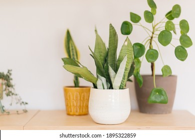 Sanseviera Moonshine in white pot next to Sanseviera Trifasciata Laurentii in yellow planter and Pilea peperomioides in grey terracotta plant pot against white wall on wooden shelf.