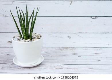 Sansevieria in ceramic pot.  White old wood background.