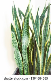 A Sansevieria Plant also known as  mother-in-law's tongue, devil's tongue, jinn's tongue, bow string hemp or snake plant growing in office