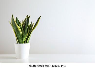 Sansevieria-Pflanze auf weißem Tisch