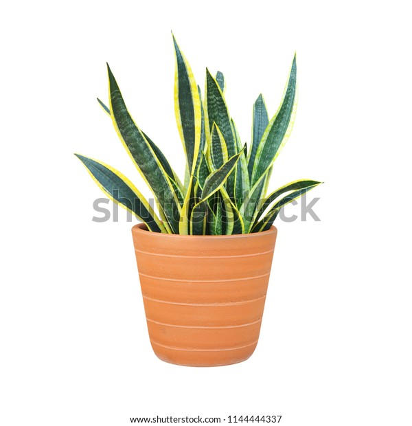 Snake Plant Deutsch