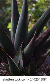 Sansevieria tongue-in-law plant because of its sharp shape, has benefits for fertilizing hair, treating diabetes, hemorrhoids, until malignant cancer fiber is used as clothing material.