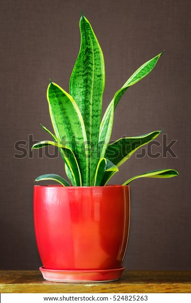 a Bowstring Hemp Snake Plant  Sansevieria Mother-in-law/'s Tongue Devil Tongue