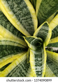 Sansevieria trifasciata or Snake plant, closeup Backgound Texture