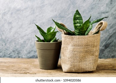 Sansevieria trifasciata or Snake plant in pot on old wood home and garden concept