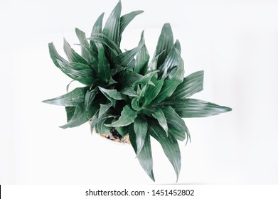 Sansevieria trifasciata or Snake plant in pot on old wood background. Home and garden concept. Interior decoration. Top view.