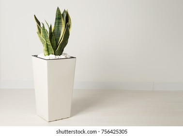 Sansevieria trifasciata or Snake plant in pot at home
