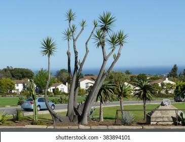 Santa Barbara, California - May 16 2008: Yucca trees with row of white houses at the Pacific seashore in Santa Barbara