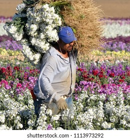 Santa Barbara County, California/USA-June 24, 2013: An agricultural worker harvests flowers from a commercial flowerfield in northern Santa Barbara County, California.