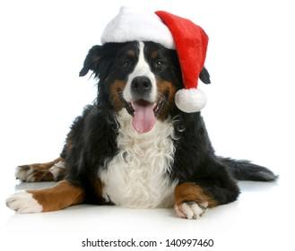 santa dog - bernese mountain dog wearing santa hat on white background