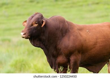 Santa Gertrudis cattle