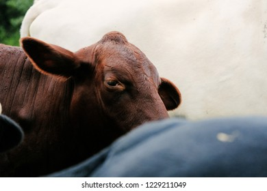 Santa Gertrudis cow with ear perked to listen among group of colorful cattle on farm.