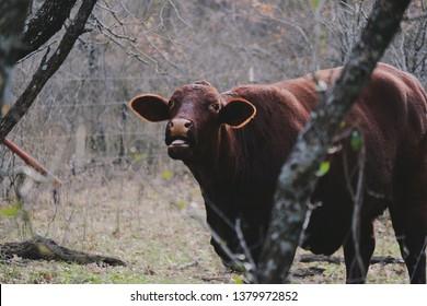 Santa Gertrudis cow looking at camera from farm pasture.