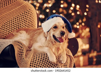 In santa hat. Cute Golden retriever at home. Celebrating New year and christmas.