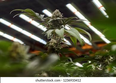 Santa Rosa, California/USA - 08/19/2018 Vertical Cannabis indoor farm. Advances in Full Spectrum LED technology makes vertical farming possible to optimize cannabis crops.