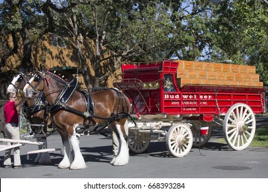 Santa Rosa, CA/USA: 6/17/17: Budweiser Clydesdales make an appearance at Country Summer festival.  They were first introduced to the public on April 7, 1933, to celebrate the repeal of Prohibition.