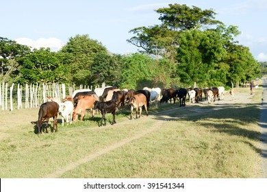 Santiago de Cuba, Cuba - 14 january 2016: Farmer conducting his herd of cows near Santiago de Cuba, Cuba