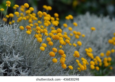 Santolina chamaecyparissus also known as Cotton lavender close up
