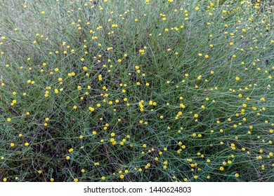 Santolina rosmarinifolia. Holy flax, plant with yellow flowers.