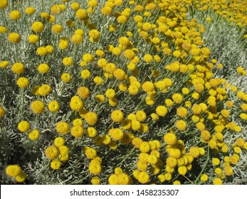 The santolina rosmarinifolia is a plant from the asteraceae family. The flower is yellow. The photo shows a field of this plant.