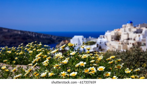 Santorini, Greece - Yellow flowers on the background of Oia village
