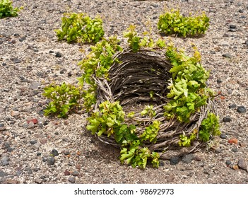 Santorini vine cultivated in low basket shaped crown on lava soil
