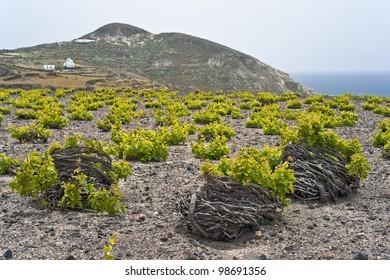 Santorini vineyard on lava soil next to the sea