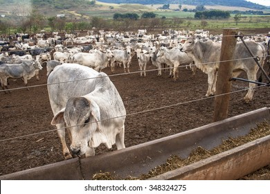 Sao Carlos, Sao Paulo, Brazi, August 08, 2008: A group of cattle in confinement