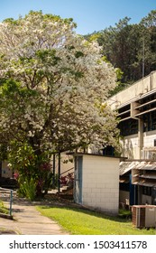 Sao Carlos, SP, Brazil - September 11,2019: Department of Chemistry at the Federal University of Sao Carlos (UFSCAR), on a rare occasion when the White Ipe flourishes (Tabebuia roseo-alba).
