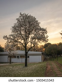Sao Carlos, SP, Brazil - September 11,2019: Two beautiful White Ipe trees (Tabebuia roseo-alba)  at sunset ornaments the campus of the Federal University of Sao Carlos (UFSCAR).