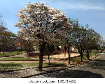 SAO JOÃO DA BOA VISTA, SAO PAULO / BRAZIL - SEPTEMBER 11, 2019: White Ipe in a square with trees, lawn and sports court in the background.