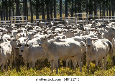 Sao Paulo, Brazi, August 05, 2008: A group of cattle in confinement