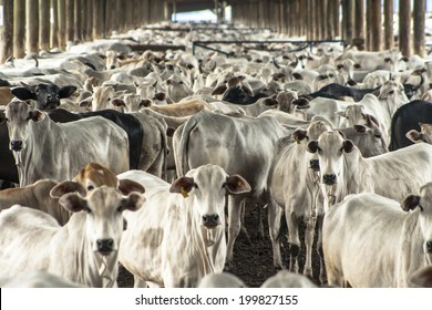 SAO PAULO, BRAZIL - AUGUST 08, 2008: A group of cattle in confinement