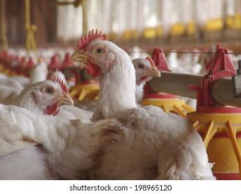 SAO PAULO, BRAZIL, JUNE 03, 2004: Chicken Farm, Poultry