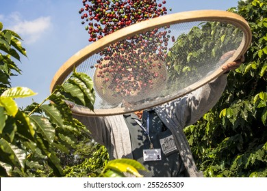 Sao Paulo, Brazil. June 18, 2009. Man harvesting coffee on the orchard of the Biological Institute, the oldest urban coffee plantation in the country, located in Vila Mariana, south of S�£o Paulo
