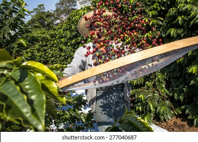 Sao Paulo, Brazil. June 18, 2009. Man harvesting coffee on the orchard of the Biological Institute, the oldest urban coffee plantation in the country, located in Vila Mariana, south of Sao Paulo