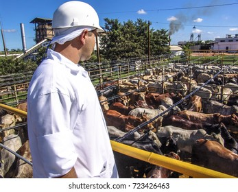 Sao Paulo, Brazil, March 09, 2006. Cattle are washed before entering the slaughtering sector of a refrigerator in the state of Sao Paulo