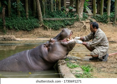SAO PAULO - BRAZIL / SEP 2, 2015: An Hippopotamus (Hippopotamus amphibius - large, mostly herbivorous, semiaquatic mammal) relaxed while being treated by a zoo keeper in Zoo Safari zoological park.