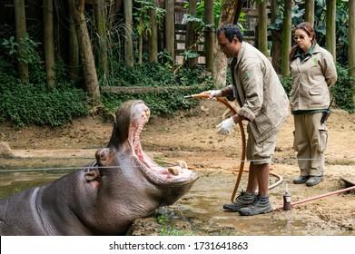 SAO PAULO - BRAZIL / SEP 2, 2015: An Hippopotamus (Hippopotamus amphibius - large, mostly herbivorous, semiaquatic mammal) receiving medical treatment by a zoo keeper in Zoo Safari zoological park.