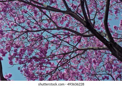 SAO PAULO, SP, BRAZIL - AUGUST 14, 2016 - Pink ipe or pink lapacho, Tabebuia avellanedae or Handroanthus impetiginosus, tree originating in South America and often used in landscaping in Brazil